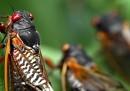 L'invasione di cicale negli Stati Uniti