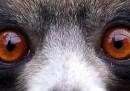 Uno sguardo da lemure