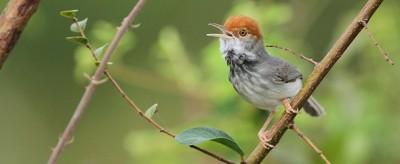 Il nuovo uccello scoperto a Phnom Penh