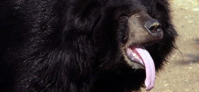 Si sta come l'orso tibetano