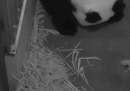 Il video del piccolo panda di Washington