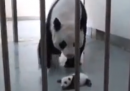Un panda e sua madre a Taipei – video