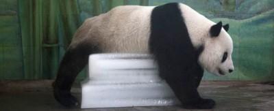 Ghiaccioli e panda