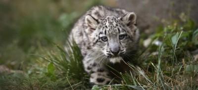 Un leopardo delle nevi di 3 mesi, in Illinois – foto