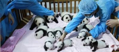 14 piccoli panda cinesi – foto