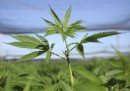 Il rispettabile business della marijuana