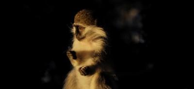 Foto di cercopitechi e gattini