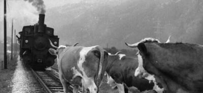 I bovini al tempo dell'Alta Velocità