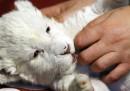Il leone bianco appena nato allo zoo di Belgrado