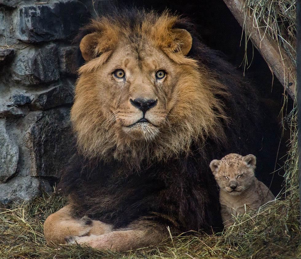 Il giovane leone il post - Leone e capricorno a letto ...