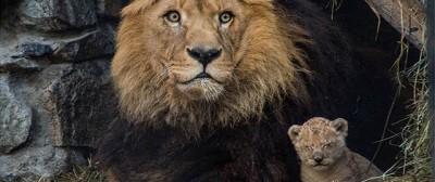 Il giovane leone