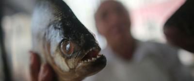 I piranha non sbranano le persone