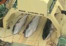 Il video delle balene uccise su una nave giapponese