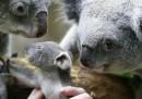 Il cucciolo di koala senza nome allo zoo di Duisburg
