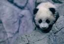 Le foto di Bao Bao, il cucciolo di panda di Washington