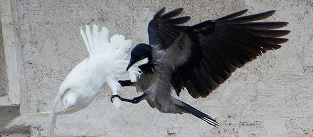 vaticano-colombe
