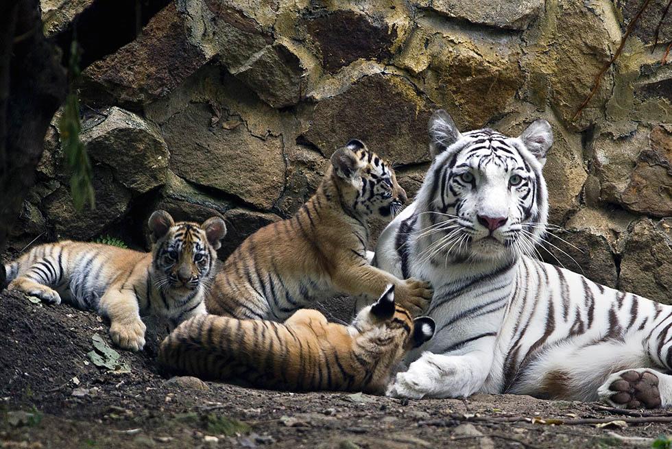 L'impronta della tigre - Il Post