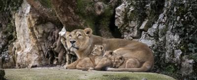 I piccoli di leone nello zoo di Besançon
