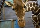 Perché a Copenaghen hanno ucciso una giraffa
