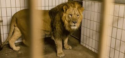 Lo zoo di Copenaghen ha ucciso 4 leoni