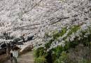 Le foto della fioritura dei ciliegi a Tokyo