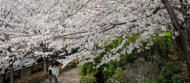 Le foto della fioritura dei ciliegi a tokyo il post - Foto della bandiera del giappone ...