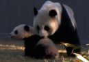 La prima volta all'aria aperta per il panda Bao Bao - video