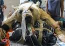 L'operazione di un orso in Israele