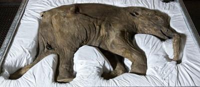 La storia del mammut Lyuba