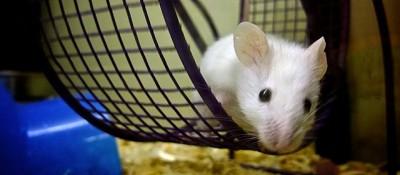 I topi corrono nella ruota semplicemente perché gli piace un sacco