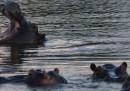 Gli ippopotami di Pablo Escobar