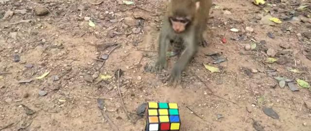 84 persone, una scimmia e un serpente per risolvere un cubo di Rubik