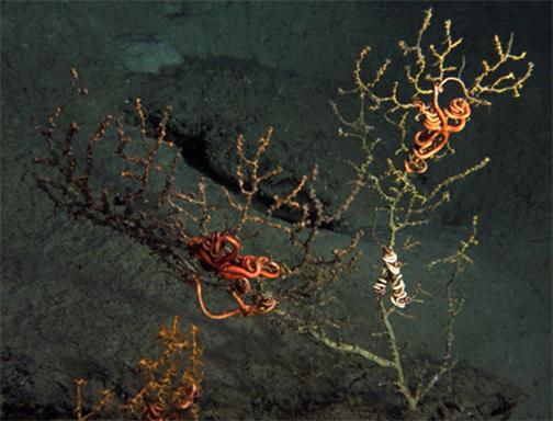 Coralli nel Golfo del Messico