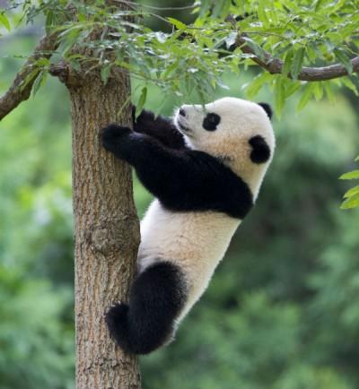Le foto dei cuccioli di uno degli animali rari pi dolce: il panda - Ecoo 63