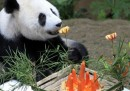 Le foto di Bao Bao, il panda dello zoo di Washington