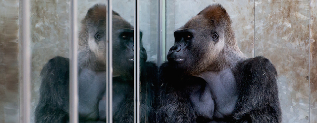Il riflesso del gorilla il post - Cavalli allo specchio ...