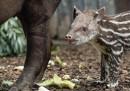 Tapiri piccolissimi