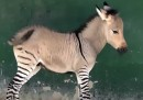 "È nato uno ""zonkey"", in Crimea - video"