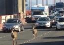 I due cervi che hanno bloccato il traffico sul Golden Gate a San Francisco