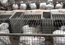 L'allevamento intensivo dei conigli