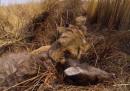 La leonessa a caccia, dal punto di vista della leonessa