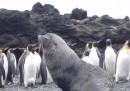 I pinguini violentati dalle foche