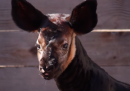 È nato un okapi nello zoo di Houston – video