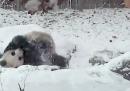 Il video di panda della settimana, come minimo