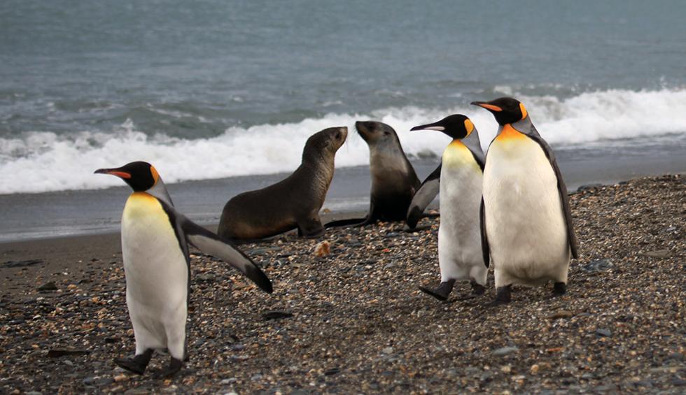 Pinguini reali e due esemplari di otaria orsina antartica