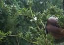 La legalizzazione della marijuana in Uruguay va molto a rilento