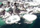 Un gruppo di balene, visto da un drone