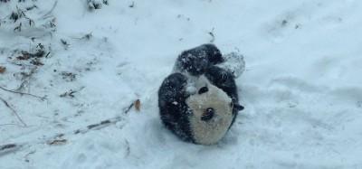 Il primo giorno di un panda sulla neve