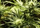 L'Alaska ha legalizzato la marijuana