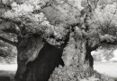 Fotografie di alberi antichi, stampate al platino